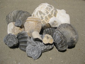 A small selection of the fossils I found on the beaches of the Jurassic Coast last year.